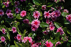 Cora® Strawberry Vinca (Catharanthus roseus 'Cora Strawberry') at Snavely's Garden Corner