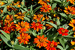 Profusion Orange Zinnia (Zinnia 'Profusion Orange') at Snavely's Garden Corner
