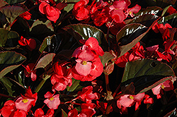 Whopper® Rose Bronze Leaf Begonia (Begonia 'Whopper Rose Bronze Leaf') at Snavely's Garden Corner