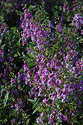 Serena Purple Angelonia (Angelonia angustifolia 'Serena Purple') at Snavely's Garden Corner