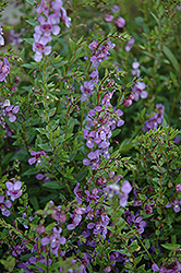 AngelMist® Purple Angelonia (Angelonia angustifolia 'AngelMist Purple') at Snavely's Garden Corner