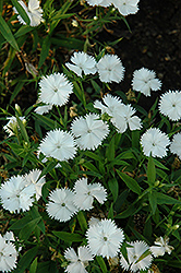 Floral Lace White Pinks (Dianthus 'Floral Lace White') at Snavely's Garden Corner
