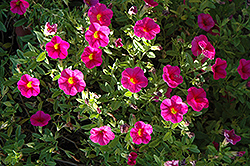 Superbells® Cherry Red Calibrachoa (Calibrachoa 'Superbells Cherry Red') at Snavely's Garden Corner