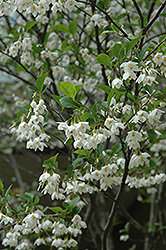 Japanese Snowbell (Styrax japonicus) at Snavely's Garden Corner