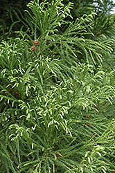 Yoshino Japanese Cedar (Cryptomeria japonica 'Yoshino') at Snavely's Garden Corner