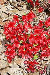 Encore® Autumn Monarch™ Azalea (Rhododendron 'Conleo') at Snavely's Garden Corner
