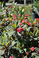 Crown Of Thorns (Euphorbia milii) at Snavely's Garden Corner