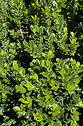 Baby Gem™ Boxwood (Buxus microphylla 'Gregem') at Snavely's Garden Corner