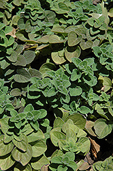 Hot And Spicy Oregano (Origanum 'Hot And Spicy') at Snavely's Garden Corner
