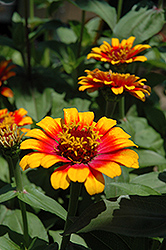 Zowie Yellow Flame Zinnia (Zinnia 'Zowie Yellow Flame') at Snavely's Garden Corner