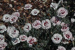 Silver Star Pinks (Dianthus 'Silver Star') at Snavely's Garden Corner