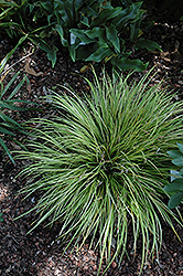 EverColor® Everillo Japanese Sedge (Carex oshimensis 'Everillo') at Snavely's Garden Corner