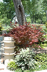 Purple Ghost Japanese Maple (Acer palmatum 'Purple Ghost') at Snavely's Garden Corner
