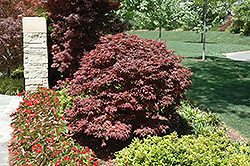Rhode Island Red Japanese Maple (Acer palmatum 'Rhode Island Red') at Snavely's Garden Corner
