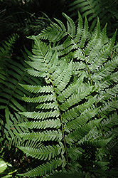 Dixie Wood Fern (Dryopteris x australis) at Snavely's Garden Corner