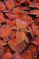 Wizard Sunset Coleus (Solenostemon scutellarioides 'Wizard Sunset') at Snavely's Garden Corner