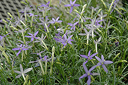 Beth's Blue Laurentia (Isotoma axillaris 'Beth's Blue') at Snavely's Garden Corner