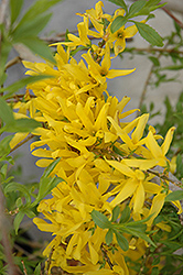 Gold Tide Forsythia (Forsythia x intermedia 'Gold Tide') at Snavely's Garden Corner