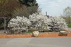 Royal Star Magnolia (Magnolia stellata 'Royal Star') at Snavely's Garden Corner