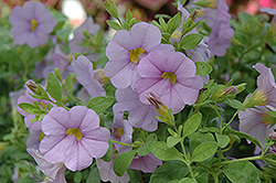 Superbells® Miss Lilac Calibrachoa (Calibrachoa 'Superbells Miss Lilac') at Snavely's Garden Corner