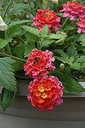Landmark Sunrise Rose Lantana (Lantana camara 'Landmark Sunrise Rose') at Snavely's Garden Corner