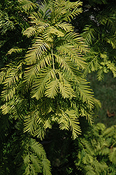 Gold Rush Dawn Redwood (Metasequoia glyptostroboides 'Gold Rush') at Snavely's Garden Corner