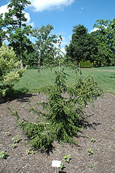 Gowdy Oriental Spruce (Picea orientalis 'Gowdy') at Snavely's Garden Corner