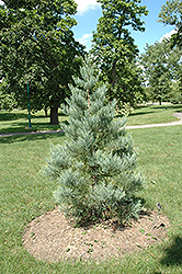 Hazel Smith Giant Sequoia (Sequoiadendron giganteum 'Hazel Smith') at Snavely's Garden Corner