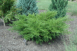 Sea Green Juniper (Juniperus chinensis 'Sea Green') at Snavely's Garden Corner