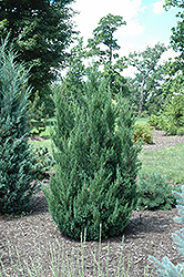 Blue Point Juniper (Juniperus chinensis 'Blue Point') at Snavely's Garden Corner