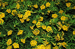 MiniFamous® Double Yellow Calibrachoa (Calibrachoa 'MiniFamous Double Yellow') at Snavely's Garden Corner