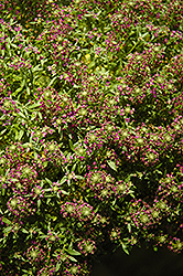 Purple Stream Sweet Alyssum (Lobularia maritima 'Purple Stream') at Snavely's Garden Corner