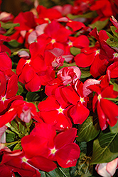 Cora® Red Vinca (Catharanthus roseus 'Cora Red') at Snavely's Garden Corner