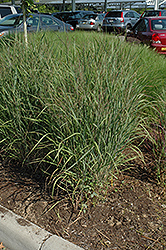 Ruby Ribbons Switch Grass (Panicum virgatum 'Ruby Ribbons') at Snavely's Garden Corner