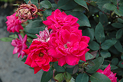 Red Double Knock Out Rose (Rosa 'Red Double Knock Out') at Snavely's Garden Corner