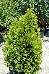 Highlights Arborvitae (Thuja occidentalis 'Janed Gold') at Snavely's Garden Corner