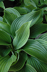 Komodo Dragon Hosta (Hosta 'Komodo Dragon') at Snavely's Garden Corner