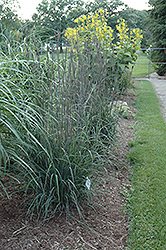 Indian Warrior Bluestem (Andropogon gerardii 'Indian Warrior') at Snavely's Garden Corner