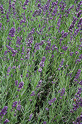 SuperBlue Lavender (Lavandula angustifolia 'SuperBlue') at Snavely's Garden Corner