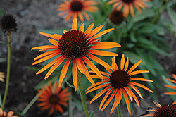 Flame Thrower Coneflower (Echinacea 'Flame Thrower') at Snavely's Garden Corner