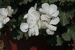 Savannah White Geranium (Pelargonium 'Savannah White') at Snavely's Garden Corner