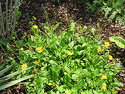 Sunshine Superman Tickseed (Coreopsis pubescens 'Sunshine Superman') at Snavely's Garden Corner