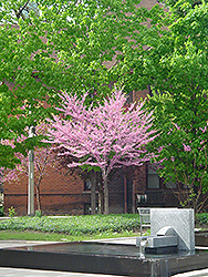 Eastern Redbud (tree form) (Cercis canadensis '(tree form)') at Snavely's Garden Corner