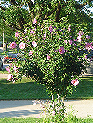 Aphrodite Rose of Sharon (Hibiscus syriacus 'Aphrodite') at Snavely's Garden Corner