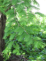 Dawn Redwood (Metasequoia glyptostroboides) at Snavely's Garden Corner
