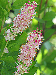 Ruby Spice Summersweet (Clethra alnifolia 'Ruby Spice') at Snavely's Garden Corner