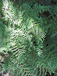 Male Fern (Dryopteris filix-mas) at Snavely's Garden Corner