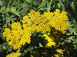 Coronation Gold Yarrow (Achillea 'Coronation Gold') at Snavely's Garden Corner