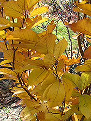 Dawyck Purple Beech (Fagus sylvatica 'Dawyck Purple') at Snavely's Garden Corner