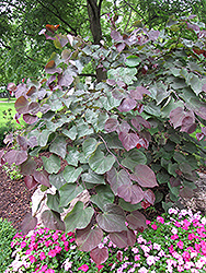 Forest Pansy Redbud (Cercis canadensis 'Forest Pansy') at Snavely's Garden Corner